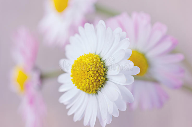 Margarita, fondo del vintage de las flores imagen de archivo libre de regalías