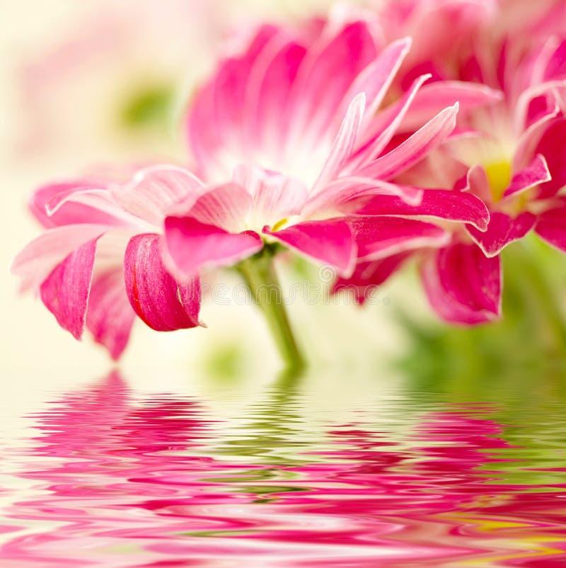 Margarita-gerbera rosado imagen de archivo libre de regalías