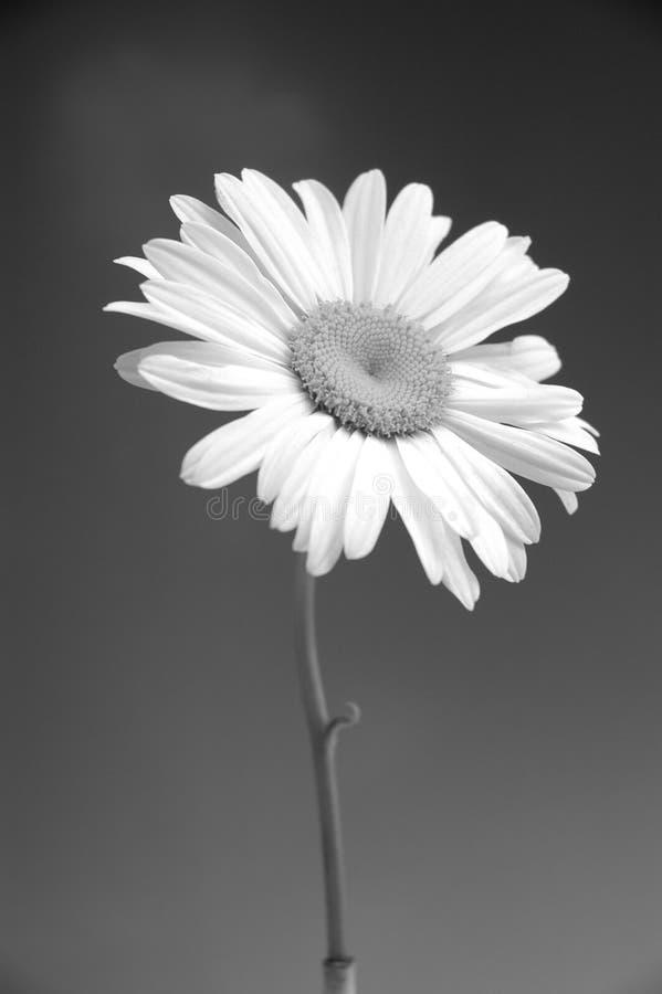 Download Margarita II imagen de archivo. Imagen de floración, blanco - 180105