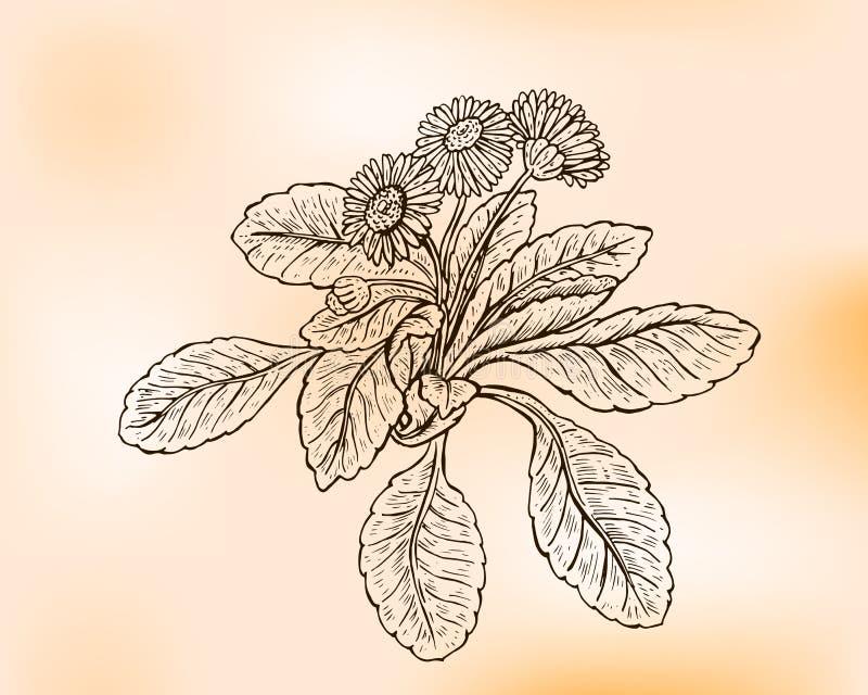 Margarita inglesa libre illustration
