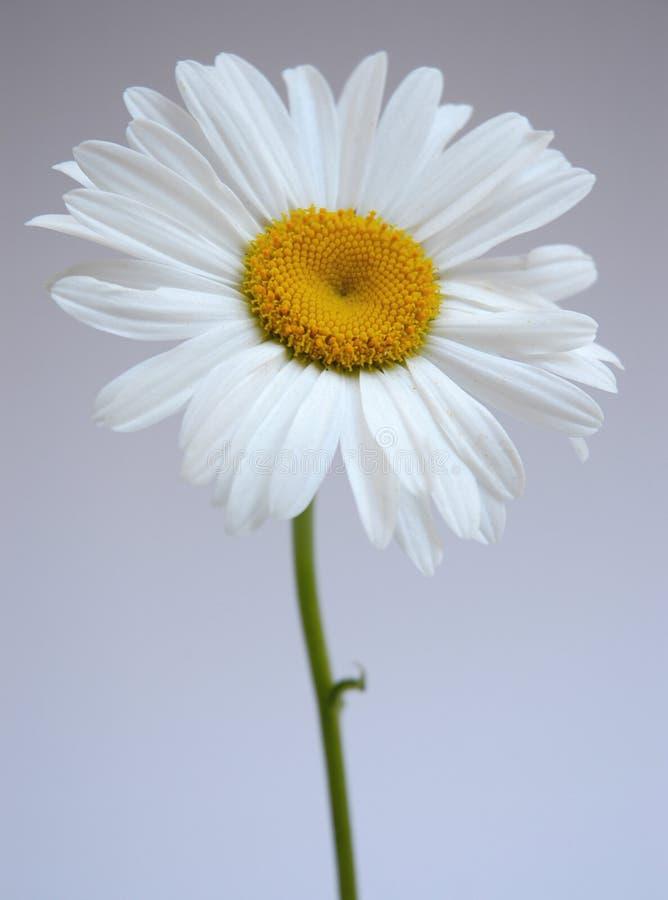 Download Margarita IV imagen de archivo. Imagen de flores, margaritas - 180111