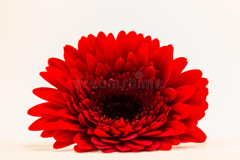 Margarita roja de Gerber foto de archivo