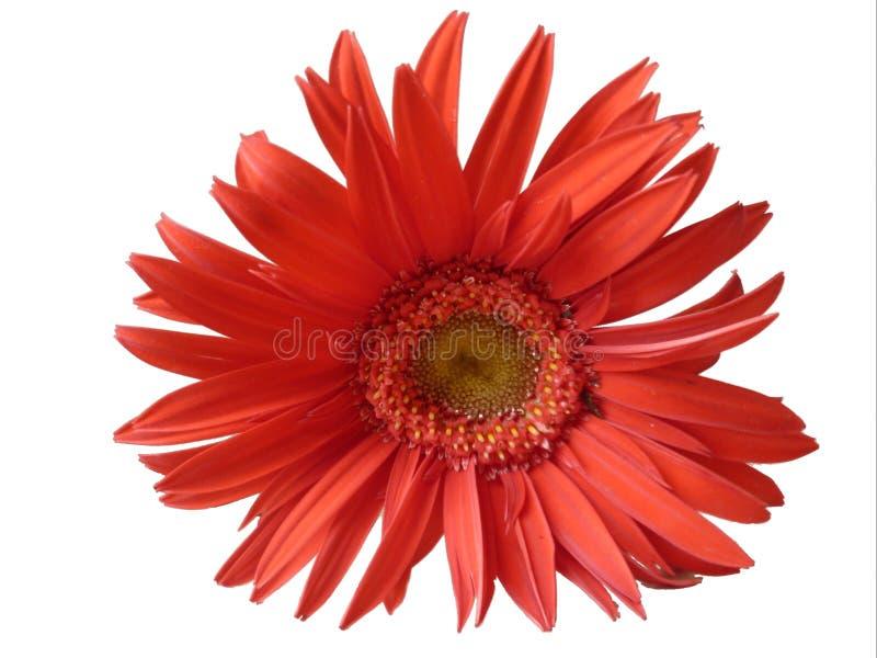 Margarita roja hermosa en el fondo blanco fotografía de archivo libre de regalías