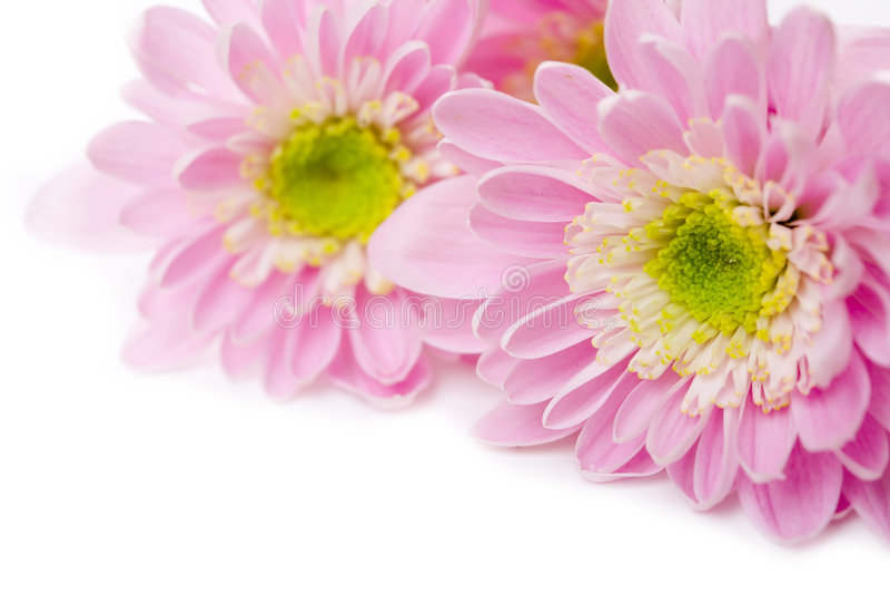 Margarita rosada imagenes de archivo