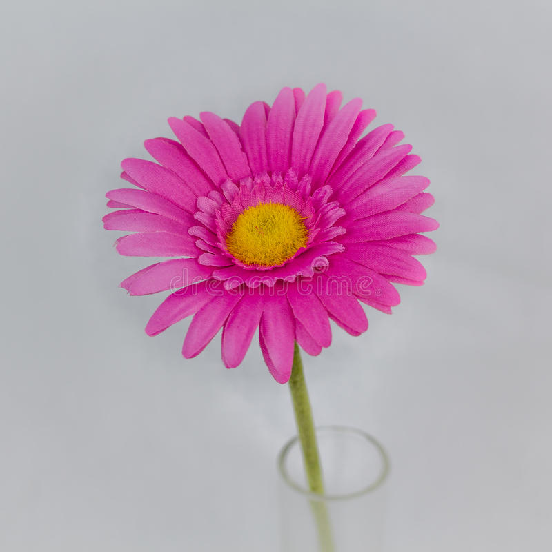 Margarita rosada foto de archivo libre de regalías