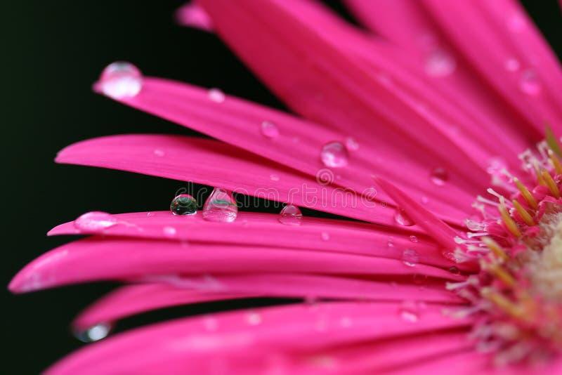 Margarita rosada de Gerber imagen de archivo libre de regalías