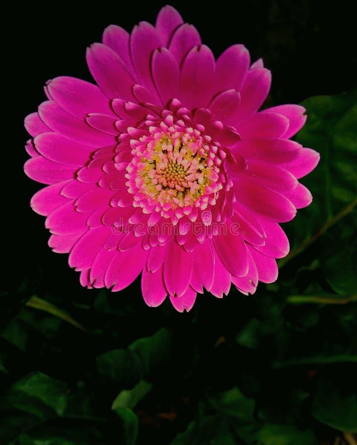 Margarita rosada de Gerber en la noche foto de archivo libre de regalías