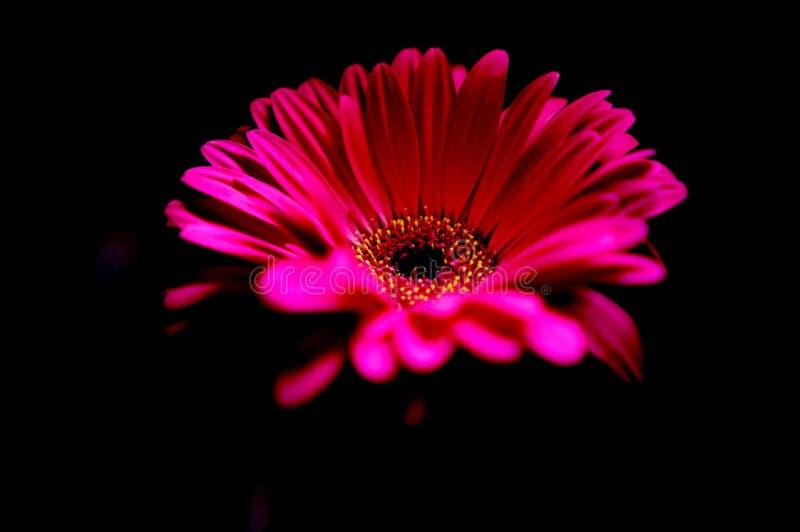 Margarita rosada en la obscuridad fotografía de archivo