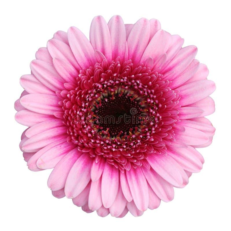 Margarita rosada hermosa del Gerbera aislada en el fondo blanco foto de archivo