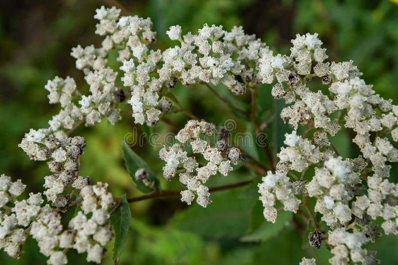 Margaritacea Anaphalis жемчужного вековечного †« стоковое фото rf