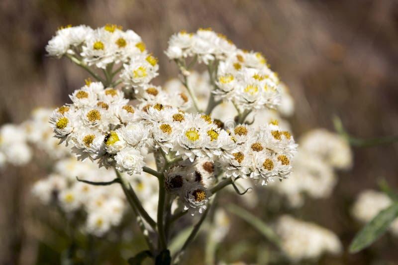Margaritacea Anaphalis, западное жемчужное вековечное, жемчужное вековечное в цветени стоковая фотография rf