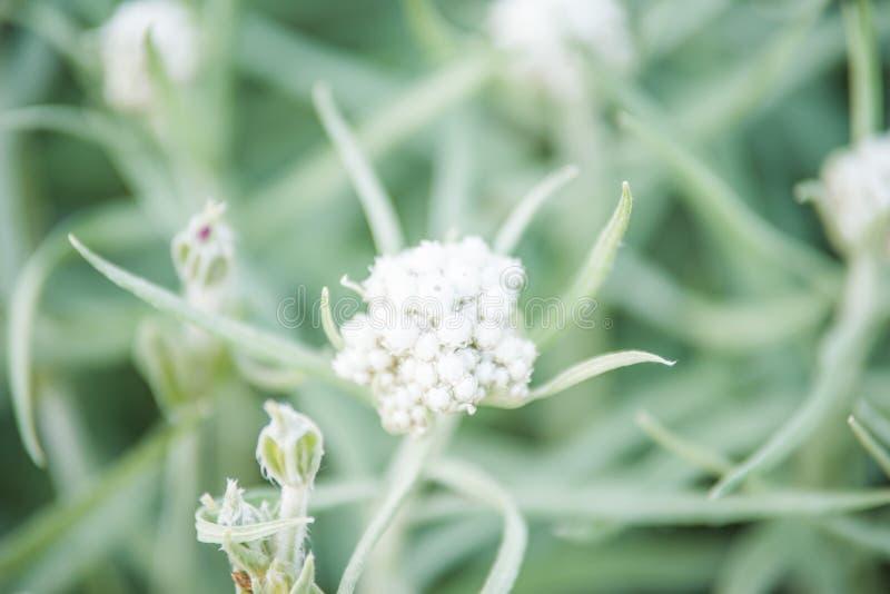 Margaritacea Anaphalis стоковое изображение