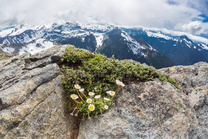 Margaritas alpinas en el Mt Freemont en Washington fotografía de archivo