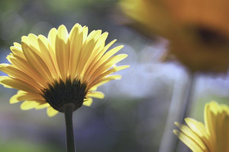 Margaritas amarillas de Gerber en el sol imagenes de archivo