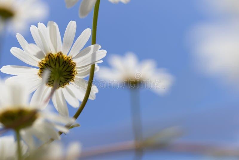 Margaritas blancas contra el cielo azul imagen de archivo