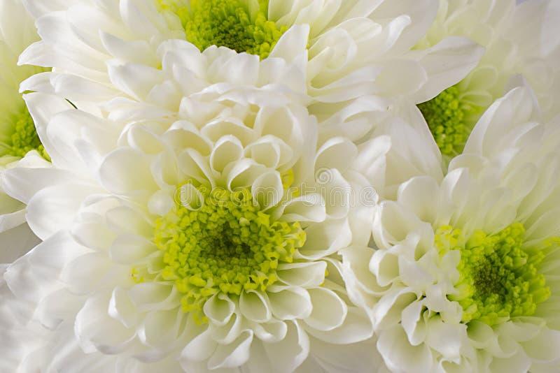 Margaritas blancas del crisantemo imagen de archivo
