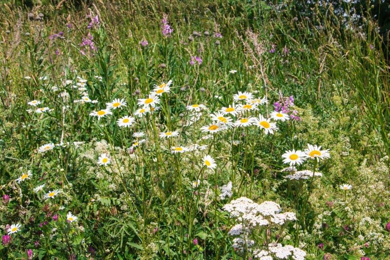 Margaritas blancas en hierba verde en un verano fotos de archivo