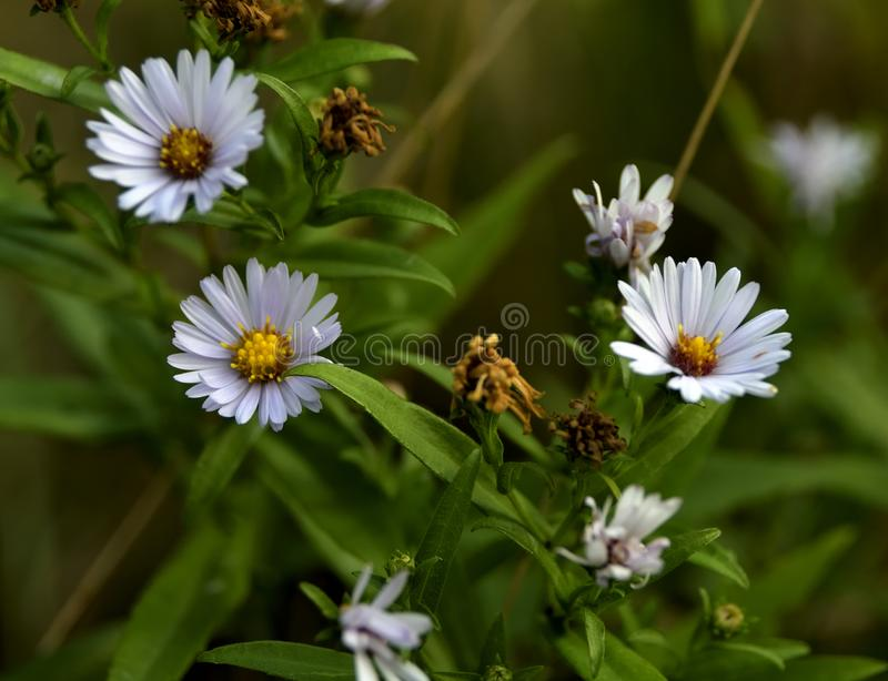 Margaritas blancas en la hierba imagen de archivo libre de regalías