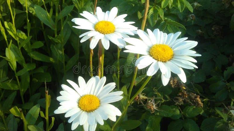 Margaritas blancas en verano fotografía de archivo