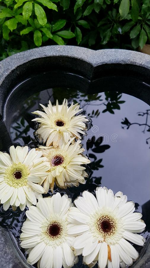 Margaritas blancas flotantes fotos de archivo