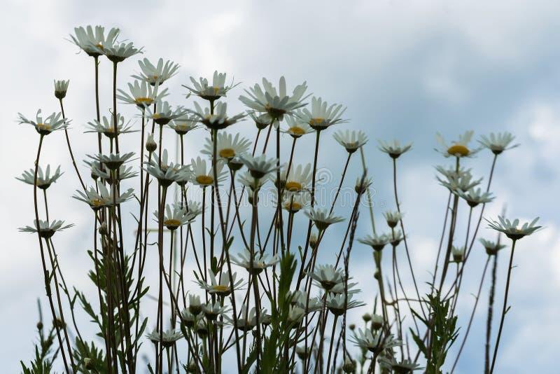 Margaritas blancas hermosas del primer contra el cielo azul marino con las nubes, visión de debajo Día de verano después de la ll foto de archivo libre de regalías