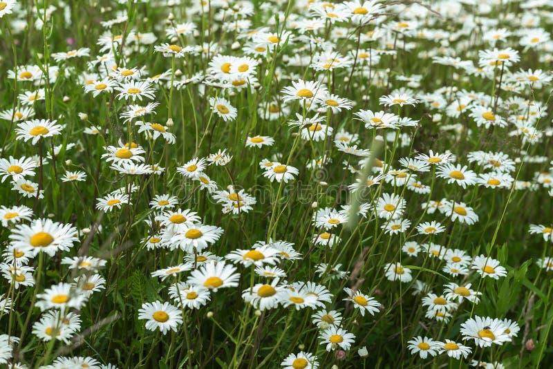 Margaritas blancas hermosas en el viento Mucho prado salvaje de las flores de la margarita Día de verano después de la lluvia Est imagen de archivo