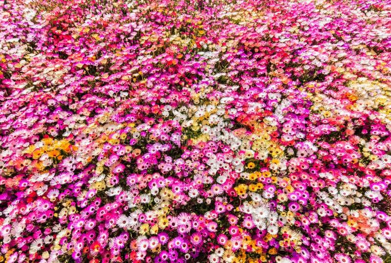 Cama de flor de las margaritas de livingstone sunlit foto de archivo