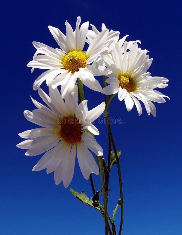 Margaritas con el cielo azul imagen de archivo