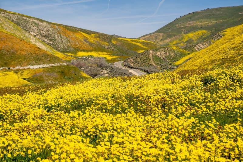 Margaritas de la ladera y wildflowers del fiddleneck con el camino en el fondo en el monumento nacional llano de Carrizo en Calif foto de archivo