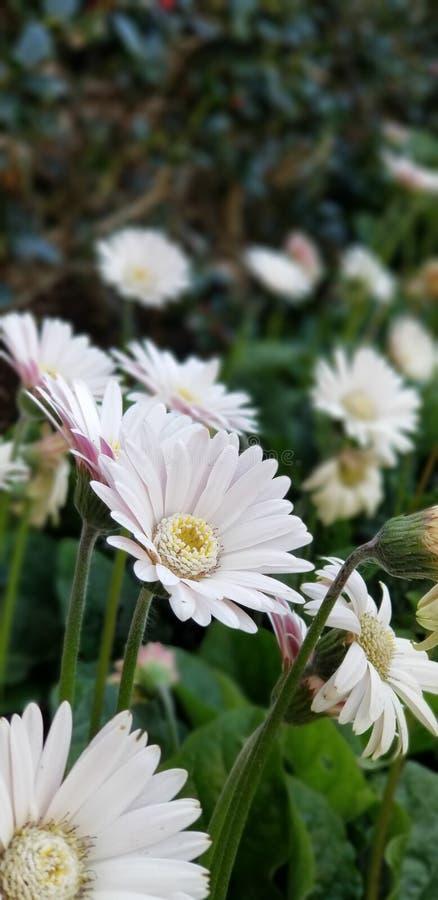 Margaritas de la primavera - el blanco del Gerbera con rosa se ruboriza fotografía de archivo