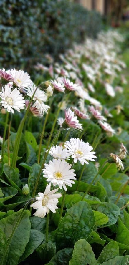 Margaritas de la primavera - el blanco del Gerbera con rosa se ruboriza imágenes de archivo libres de regalías
