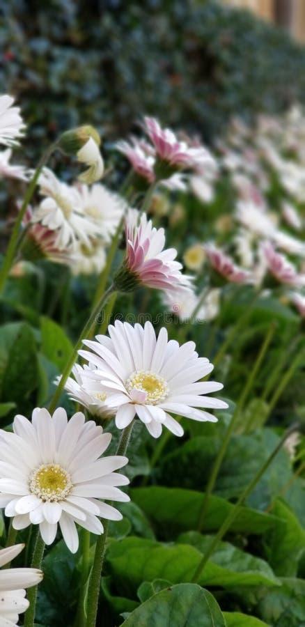 Margaritas de la primavera - el blanco del Gerbera con rosa se ruboriza foto de archivo