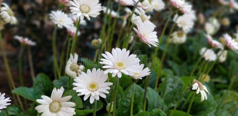 Margaritas de la primavera - el blanco del Gerbera con rosa se ruboriza fotografía de archivo libre de regalías