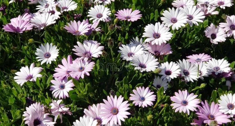 Margaritas de la primavera - Osteospermum dos Tone African Daisies foto de archivo libre de regalías