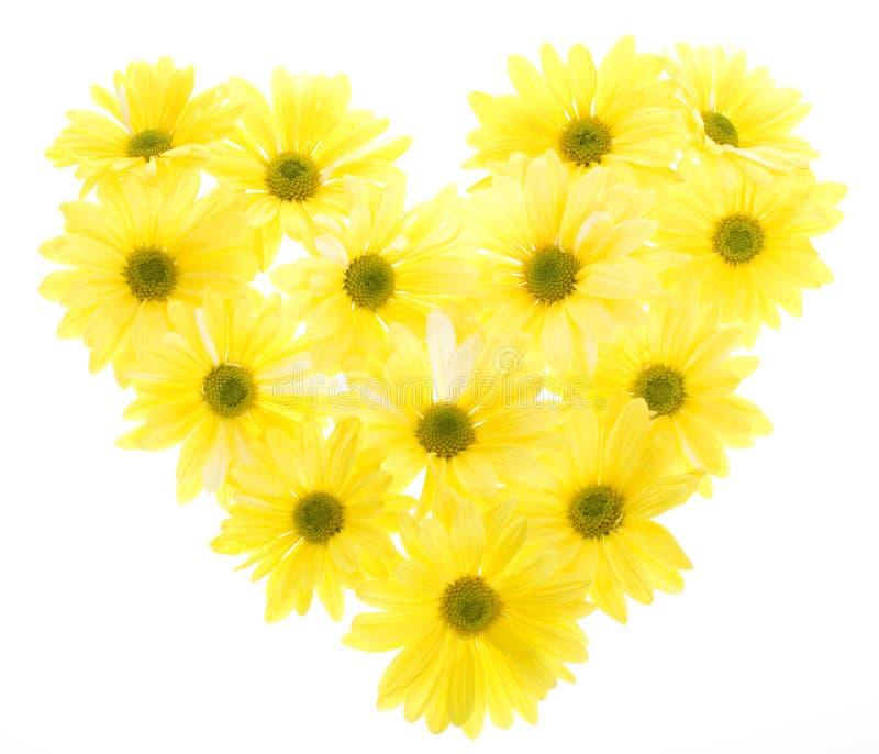 Margaritas de Shasta amarillas dispuestas en dimensión de una variable del corazón imagen de archivo libre de regalías