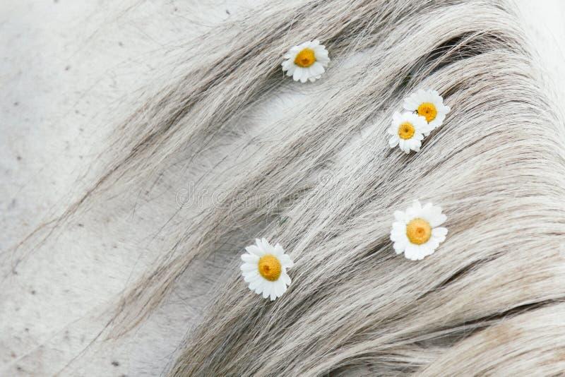 Margaritas del campo en la melena de un caballo gris fotografía de archivo libre de regalías