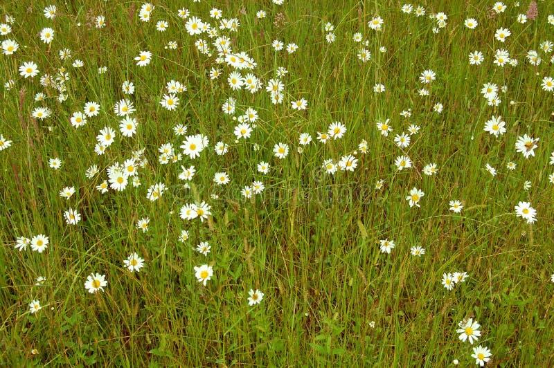 Margaritas del prado en un campo de la hierba foto de archivo