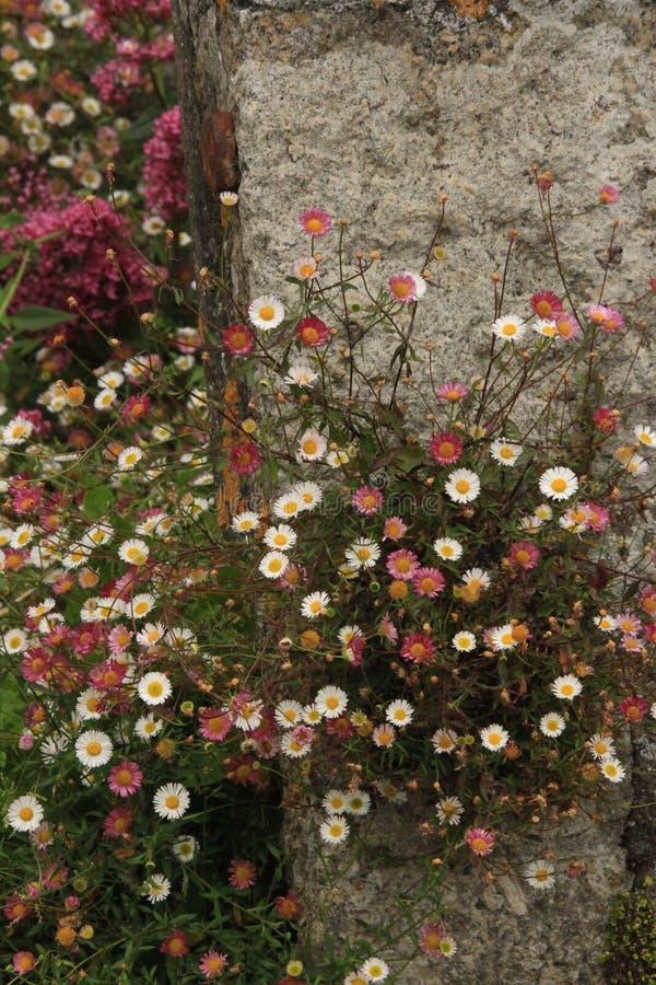 Margaritas del rosa y blancas en los pasos de piedra imagenes de archivo