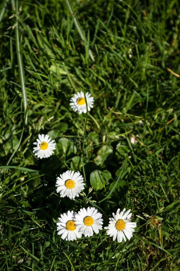 Margaritas del verano en la hierba fotografía de archivo libre de regalías