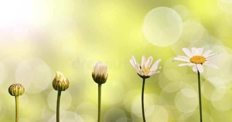 Margaritas en fondo verde de la naturaleza imagen de archivo libre de regalías