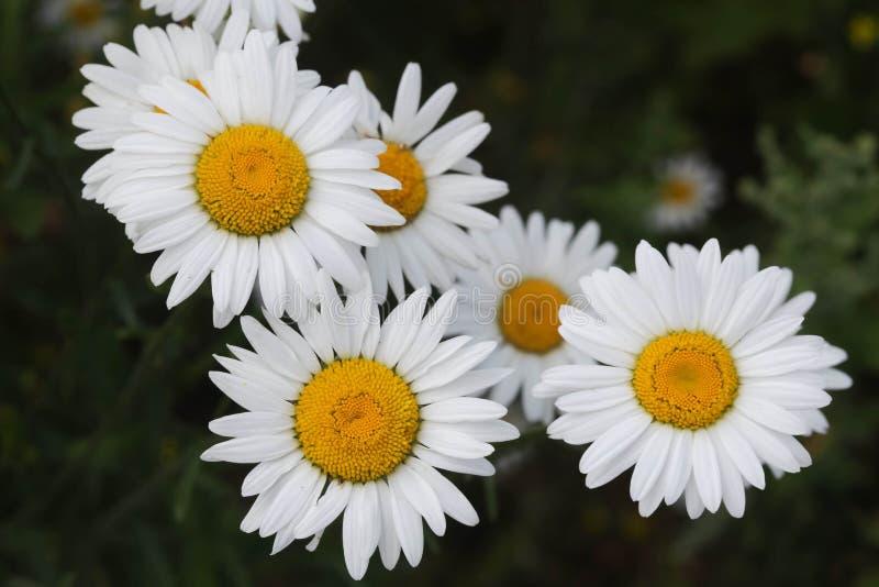 Margaritas florecientes D?a soleado hermoso Fondo verde foto de archivo