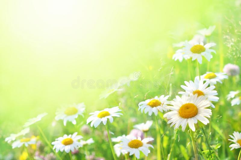 Margaritas florecientes del verano, manzanillas en el prado, tarjeta floral brillante de la flor fotos de archivo
