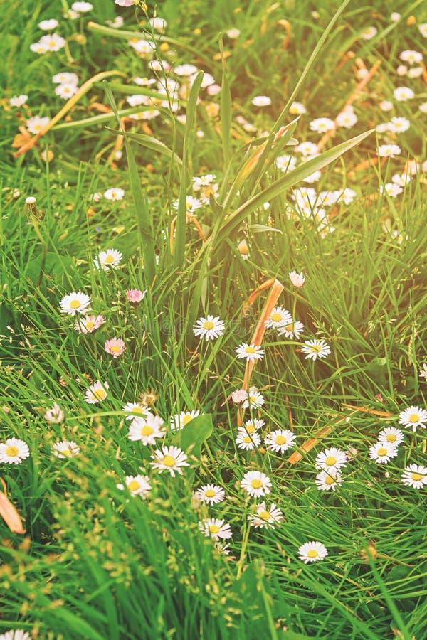 Margaritas florecientes en los faros de Brecon en el Sur de Gales Reino Unido fotos de archivo