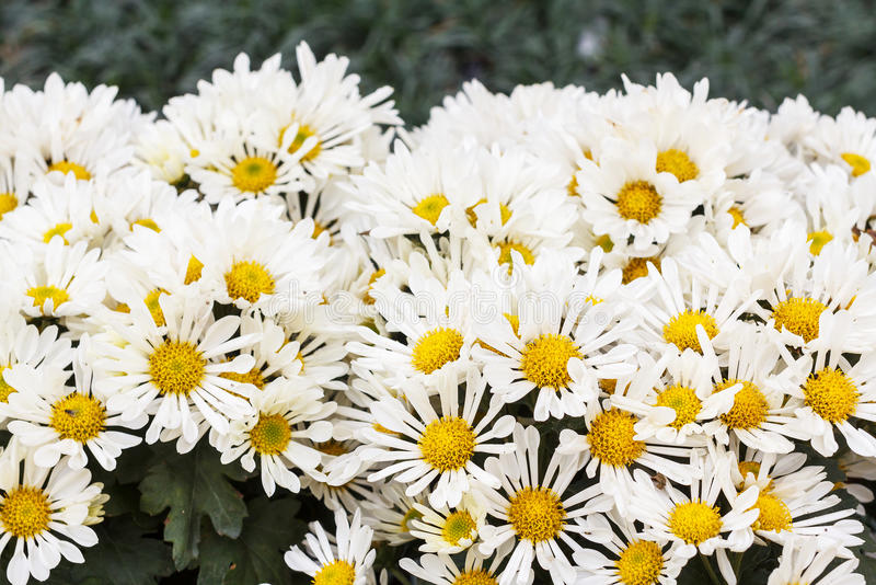 Margaritas flowers, White Flowers royalty free stock image
