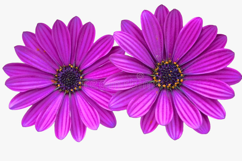 Margaritas púrpuras fotografía de archivo libre de regalías