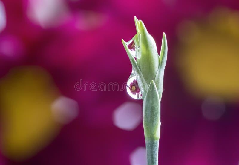 Margaritas púrpuras refractadas en gotitas de agua encima de tronco de la flor fotos de archivo libres de regalías