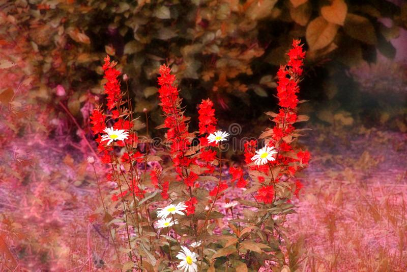Margaritas rodeadas por las flores rojas foto de archivo