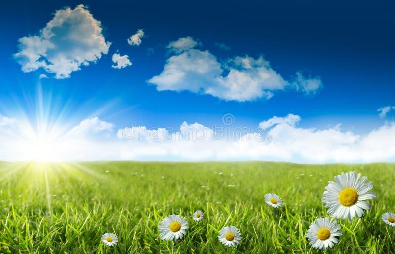 Margaritas salvajes en la hierba con un cielo azul fotos de archivo