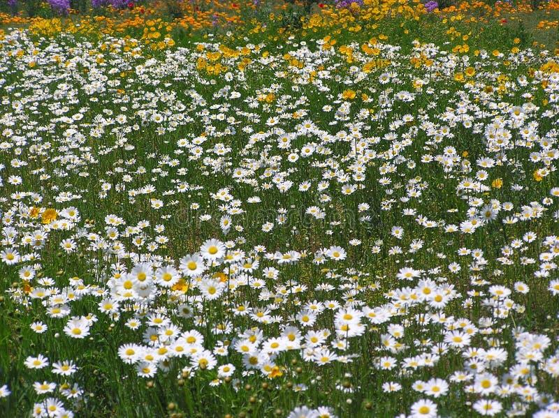 Margaritas y otros Wildflowers imagenes de archivo