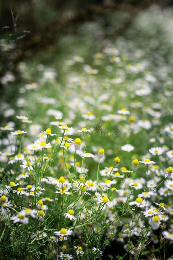 Download Margaritas y wildflowers imagen de archivo. Imagen de color - 42426949
